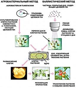 Генетически модифицированые организмы