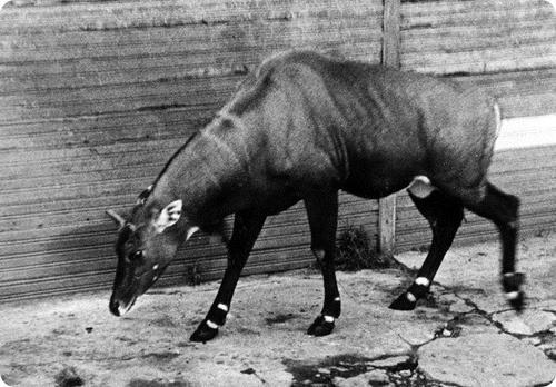 Антилопа Нильгау Маяк. 1946 год.