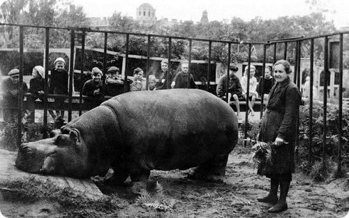 Е.И. Дашина у бегемота Красавица. 1943 год