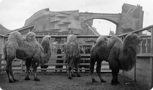 Группа верблюдов на фоне американских гор. 1936 год.