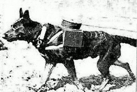 Овчарка-связист тянет кабель
