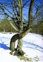 Архыз. Дерево любви